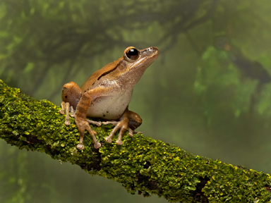 Golden Tree Frog web sizejpg