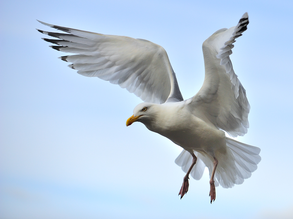 Herring_Gull