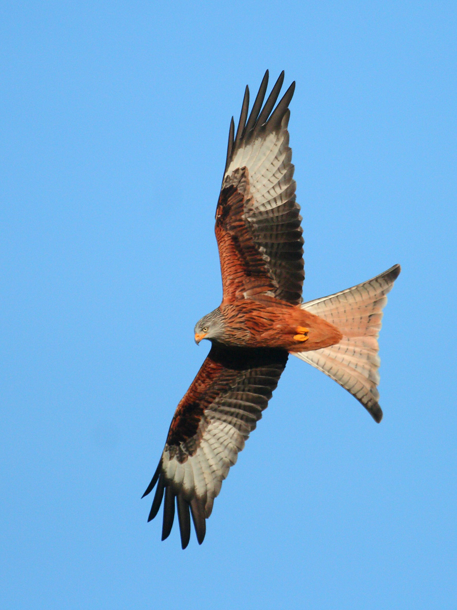 Red_Kite_at_Sundown_Galloway_Forest_Scotland.jpg